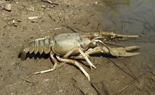 Free Danube Crayfish Royalty Free Stock Photography - 14776787