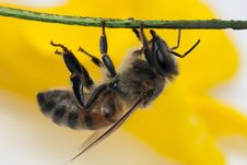 Free Bee On Branch Close-up Stock Images - 14777324
