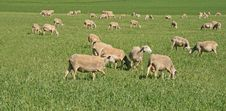 Free Sheep In Farm Royalty Free Stock Photography - 14778887