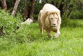 Free Young Lion Walking Stock Photo - 14780110