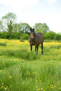 Free Horse In A Buttercup Filled Meadow Stock Image - 14781551