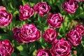 Free Tulip Garden Stock Photography - 14784682