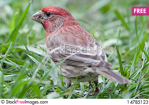 Free Red Male House Finch Stock Photos - 14785123