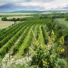 Free Vineyard Royalty Free Stock Image - 14780176