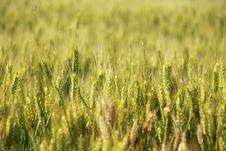 Free Wheat Field Stock Photos - 14781393