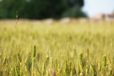 Free Wheat Field Royalty Free Stock Images - 14781409