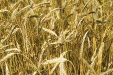 Field Of Wheat. Stock Photography