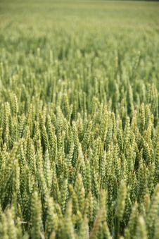 Free Wheat Field Royalty Free Stock Photos - 14781508