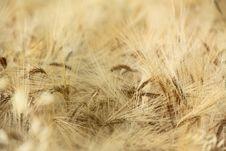 Free Wheat Field Stock Photo - 14781540