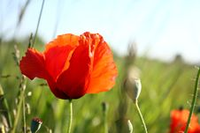 Free Poppy Stock Photos - 14782233