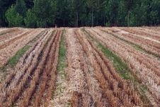 Free Wheat Fields Royalty Free Stock Images - 14783559