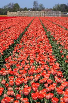 Free Tulip Field Royalty Free Stock Image - 14784856