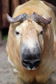 A Takin Stock Images