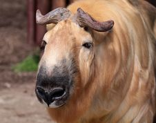 A Takin Stock Photo