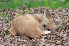 Maned Wolf Resting Stock Photography
