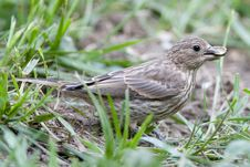 Free Female Finch With Seed Royalty Free Stock Photos - 14785058