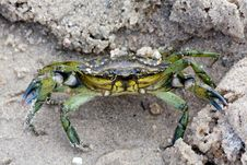 Free Green Crab Royalty Free Stock Photography - 14785097