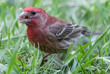 Free Red Male House Finch Stock Photo - 14785120