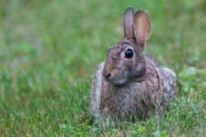 Wild Rabbit In Grass Royalty Free Stock Photography