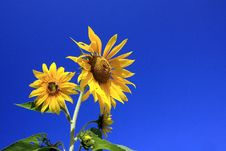 Free Sunflower Royalty Free Stock Images - 14785409