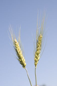 Barley Plant Against The Sky Stock Photos