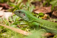 Free Lizard Royalty Free Stock Images - 14786599