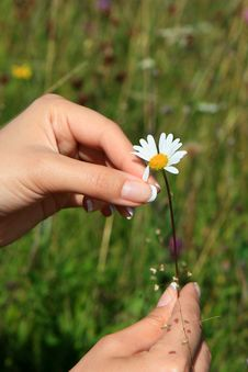 Free Camomile In Hands 1 Stock Photos - 14786733