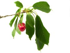 Free Cherry On Branch With Litho Royalty Free Stock Photo - 14786755