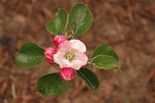 Free Apple Blossom Royalty Free Stock Images - 14786889