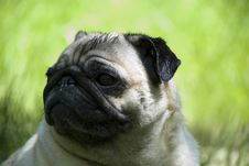 Free Pug Stock Photo - 14787480