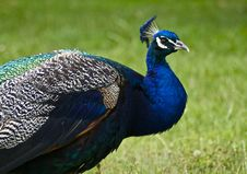 Free Male Peacock Stock Photo - 14788180