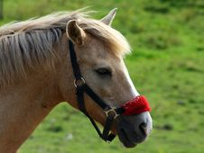 Free Brown Horse Wtih Red Halter Royalty Free Stock Image - 14789606
