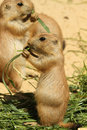 Free Baby Prairie Dog Eating Grass Royalty Free Stock Images - 14790739