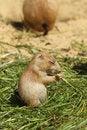 Free Baby Prairie Dog Eating Grass Stock Photo - 14790780