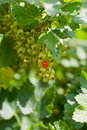 Free Currants On Shrub Stock Images - 14790924