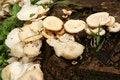 Free Wild Mushrooms Royalty Free Stock Images - 14795159