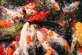Free Japanese Carp/Koi In Pond Stock Image - 14795171