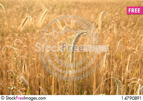 Free Cereal Stock Image - 14790891