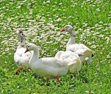 Free Geese Royalty Free Stock Photography - 14790707
