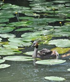 Free Crested Grebe Bird Stock Photography - 14790722
