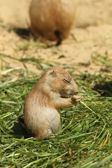 Free Baby Prairie Dog Eating Grass Stock Photo - 14790780