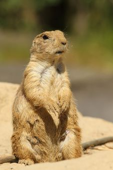Free Prairie Dog Coverd With Sand Standing Upright Stock Images - 14790794