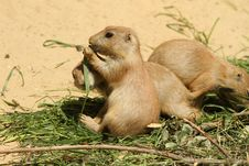 Free Baby Prairie Dog Eating Grass Royalty Free Stock Photos - 14790808