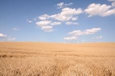 Free Field Of Cereal Royalty Free Stock Photography - 14790937