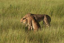 Free Cheetahs In Golden Afternoon Light, Okavango Stock Photography - 14791922
