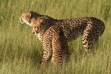 Free Cheetahs In Golden Afternoon Light, Okavango Stock Image - 14791971