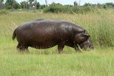 Free Hippopotamus On Land In The Okavango Stock Photography - 14792232