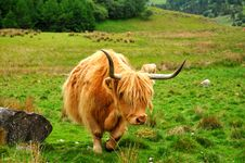 Free Scottish Buffalo, Highlander Royalty Free Stock Image - 14792746