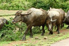 Free Vietnam Buffalos 1 Stock Images - 14793044
