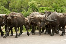 Free Vietnam Buffalos 3 Stock Photo - 14793050